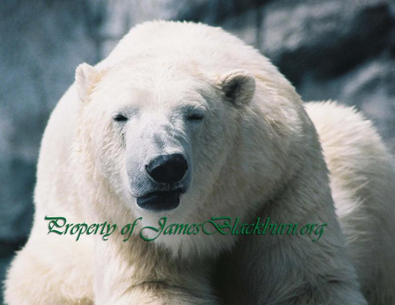 """Polar Bear Attitude"" by: James E. Blackburn"